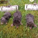 large mole hills on lawn